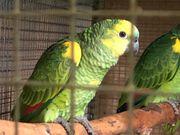 Gelbflügel-Blaustirnamazonen
