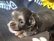 Wunderschöne reinrassig Chihuahua Welpen