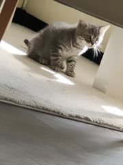 Kitten BKH Mix