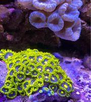 Meerwasser Koralle Zoanthus Blueberry Pie
