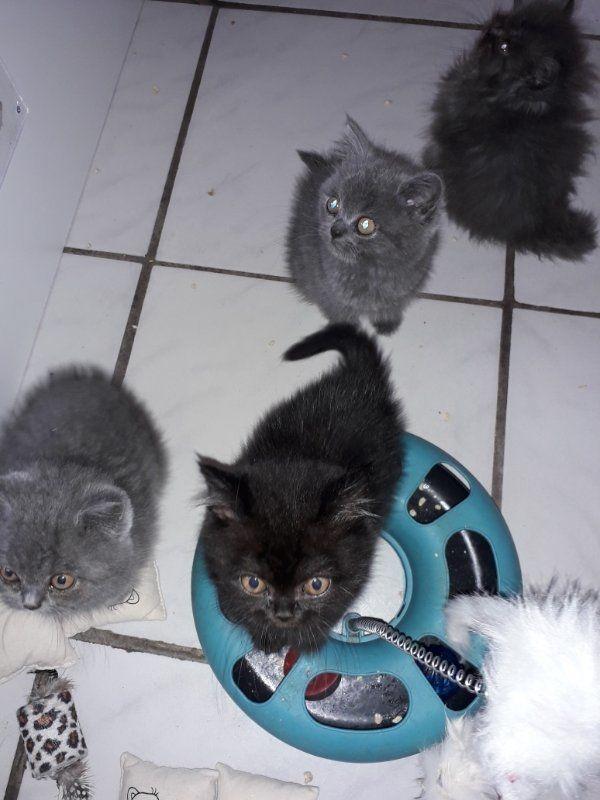 Bkh-Perser Kitten nur noch 3