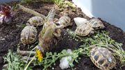 Griechische Landschildkröten THB von 2018