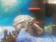 2 Wasserschildkröten für Gartenteich noch