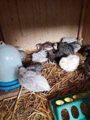 Legewachteln Hennen 5 Wochen alt