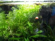 Wasserpflanzen zierliches Perlkraut 1 Liter
