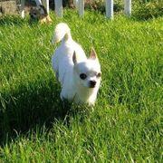 Sehr schöner Chihuahua Rüde zum