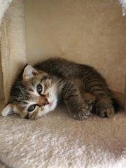 Reinrassige Scottish Fold Kätzchen