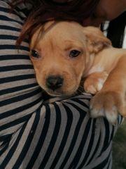 Französische Bulldoggen mix Welpen