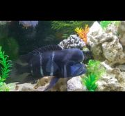 450L Aquarium mit Barsche