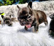 Französische Bulldog Welpen