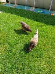Hühner legehennen silberblaue Königsberger