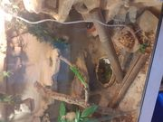 Madagaskar Tagesgecko Weibchen