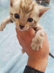 Reinrassige Bengal Kitten Katzen in