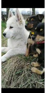 Rüde Welpe Hund Dackel