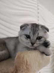 Bkh-Scottish Fold Kitten