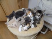 zuckersüße Kätzchen Kitten Siam Mix