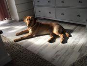 reinrassiger Labrador Deckrüde erfahren