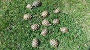 Landschildkröten griechische und maurische abzugeben