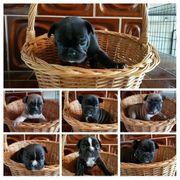 Süsse Französische Bulldoggen