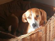Beagle - Mix - Hündin Mischling