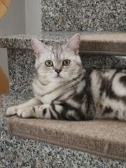 BKH Kitten British Kurzhaar Deckkater