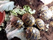 Griechische Landschildkröten THB NZ 2019