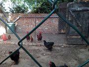 Hühner und kl Brahmas zu