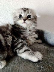 BKH Scottish Fold Kitten eine