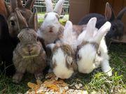 Zwergkaninchen-Kaninchenbabys suchen liebevolles Zuhause