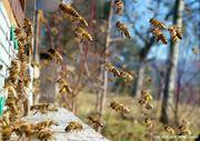 Bienenvölker auf Zander mit Gesundheitszeugnis