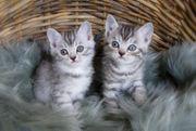 Bengal-Britisch Kurzhaar Geschwisterpaar sucht neue