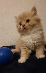 4 süsse BLH Kitten ende