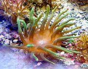 Meerwasser Blasenanemonen crassa