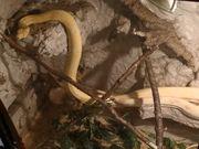 Boa constrictor imperator