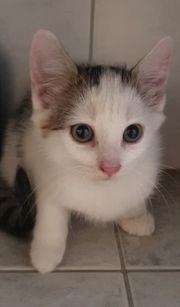 Kätzchen zu verkaufen