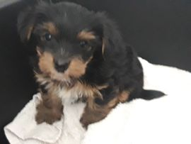 Mini yorkshire terrier welpe (Rüde)