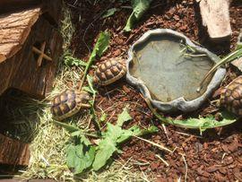 Bild 4 - Griechische und Breitrand -Schildkröten zu - Runkel