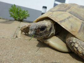 Bild 4 - Schildkröten Baby Griechische Landschildkröte Testudo - Riedstadt