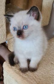 Scottish Straight Kitten zu verkaufen