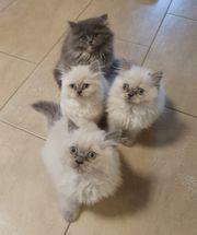 4 Reinrassige Perser Kätzchen