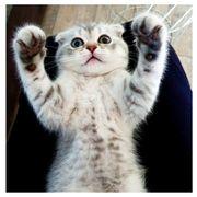 Scottish straight fold Kitten