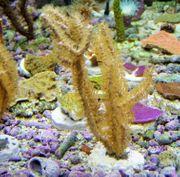 Korallenableger Hornkoralle Rumphella aggregata mit