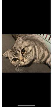 BKH Shottish Kitten Silver Tabby