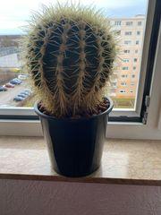 großen Kaktus