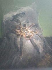 1 0 Harpactira pulchripes Männchen