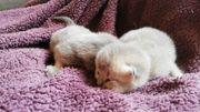 BKH Kitten suchen neues liebevolles