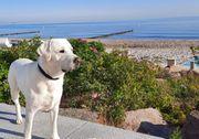 Labrador Deckrüde weiß