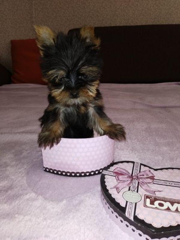 Yorkshire Terrier Mini In Düren Hunde Kaufen Und Verkaufen über