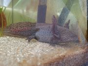 Axolotl weiblich adult wildling