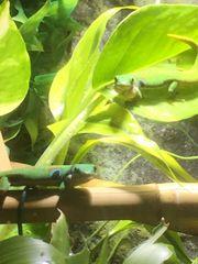 Phelsuma Quadriocellata Pfauenaugentaggeckos